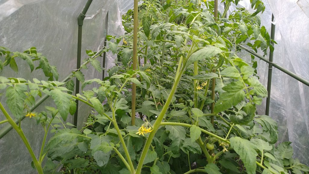 トマトの肥料不足の症状(6月27日)