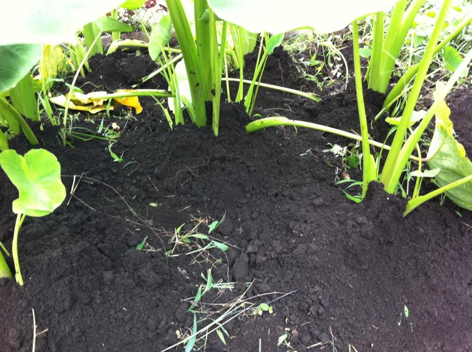 里芋の追肥と土寄せ③