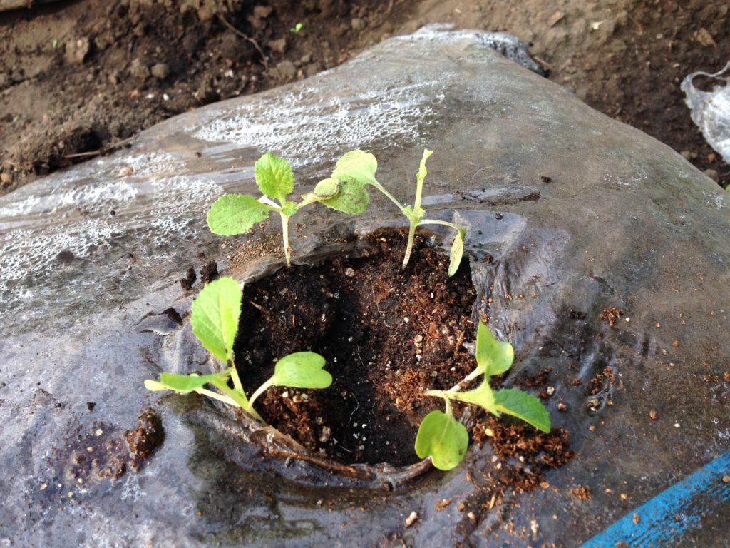 白菜の発芽(9月16日)