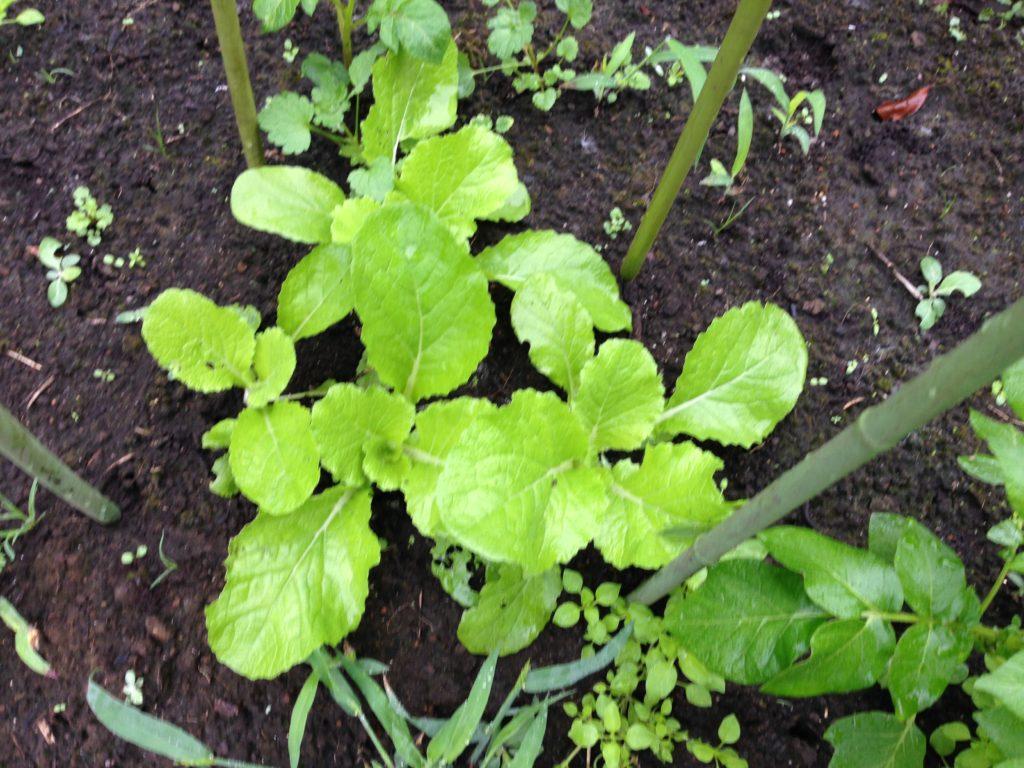 間引きした白菜の生長(10月3日)