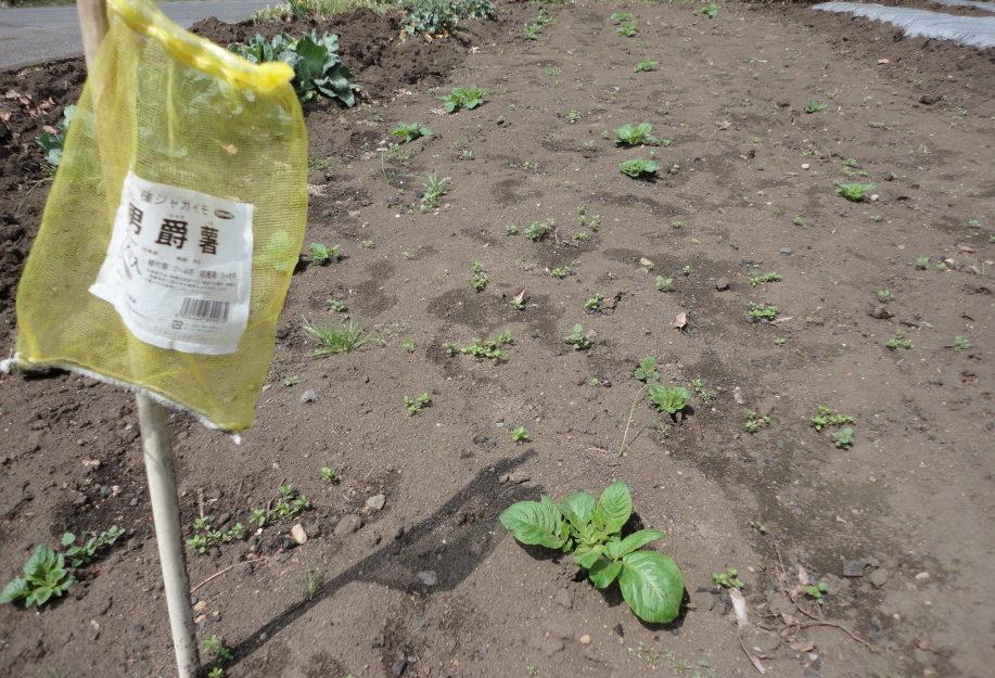 男爵芋の種芋の発芽①