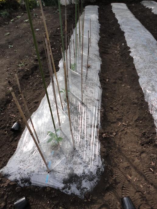 ピーマン(京みどり)の苗の植え付け①