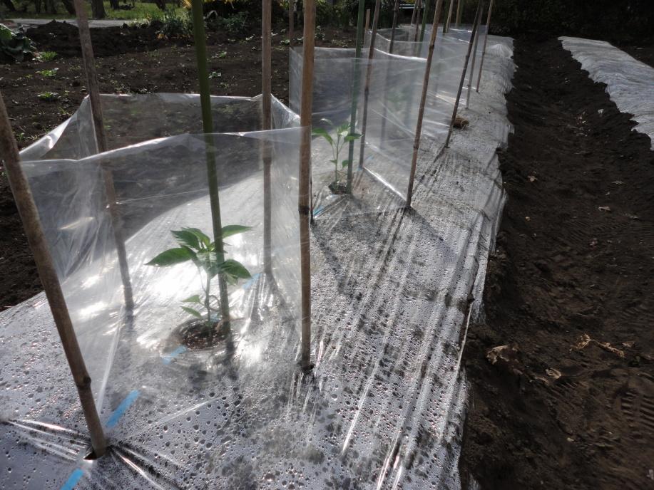 ピーマン(京みどり)の苗の植え付け②