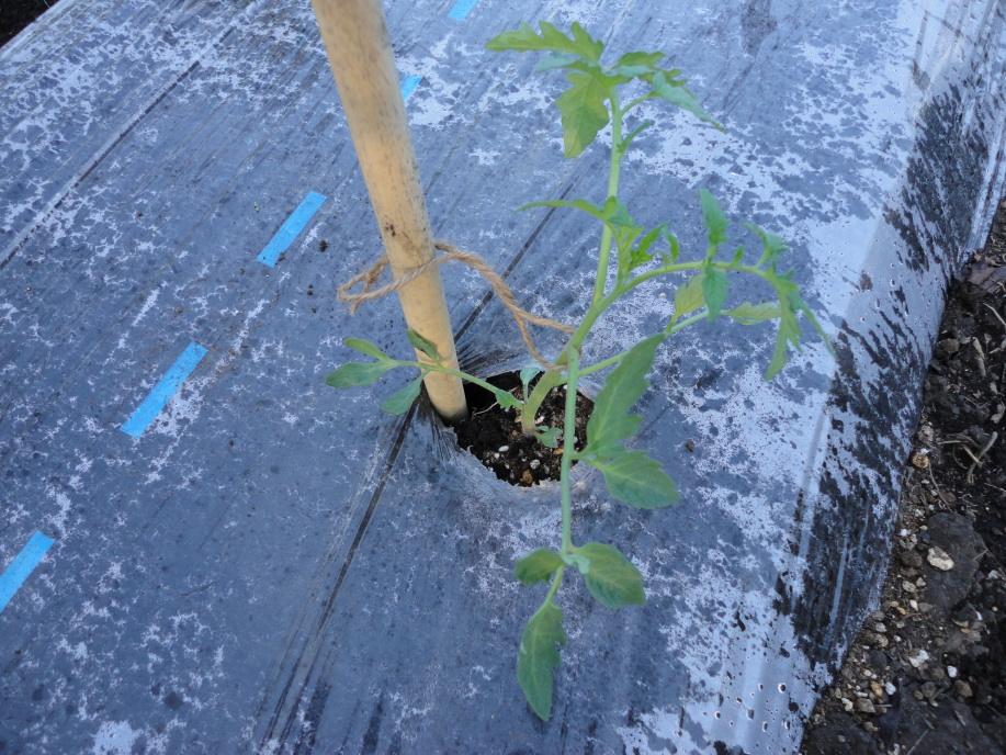 トマトの苗の植え付け②