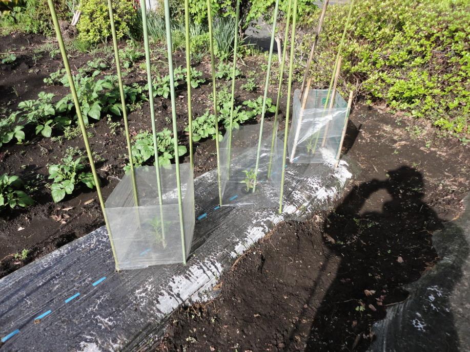 ピーマン(ゴールデンベル)の苗の植え付け①