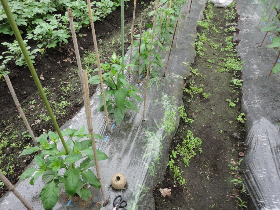 ピーマンの脇芽の摘み取りと風除けの除去①