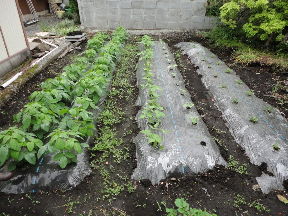 枝豆と落花生の栽培区画