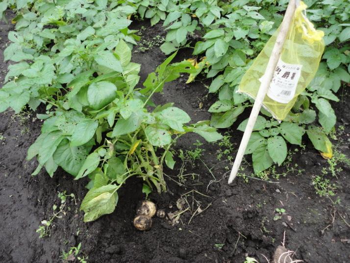 男爵芋の初収穫①