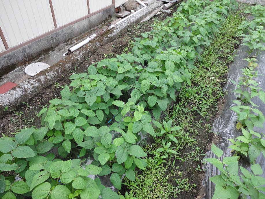 枝豆の生育状況①(6月上旬)