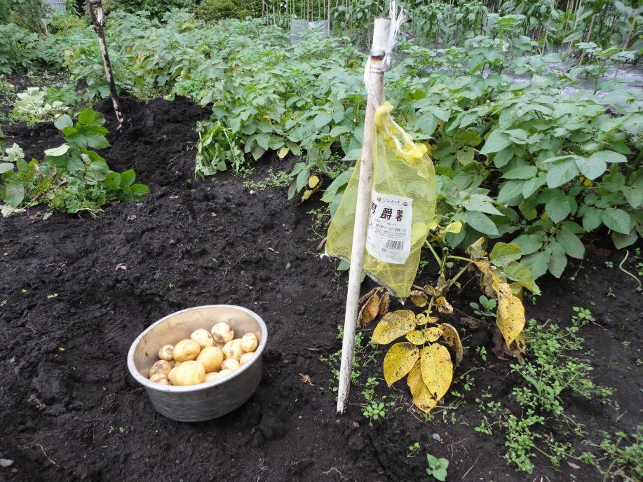 男爵芋の収穫適期