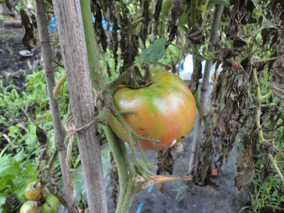 トマトの梅雨の被害②