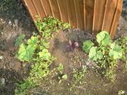 捨てた種から発芽したかぼちゃ