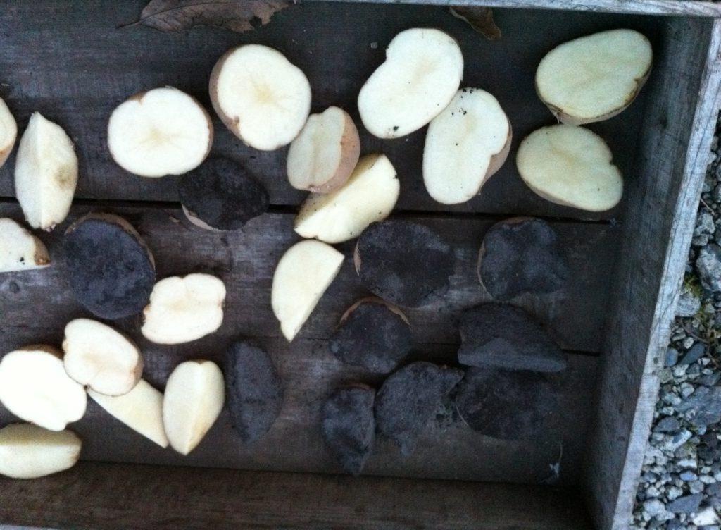 種芋の切り口に草木灰をつける