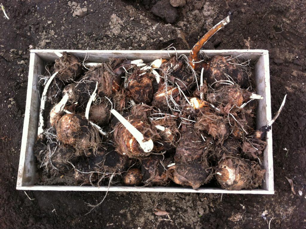 掘り起こした里芋の種芋①(04/21)