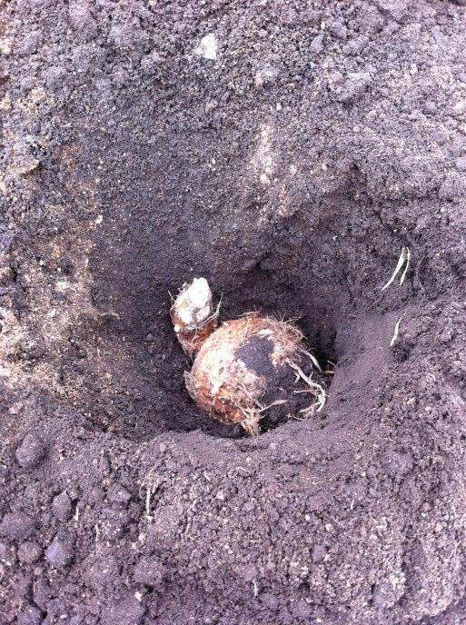 里芋の種芋の植え付け