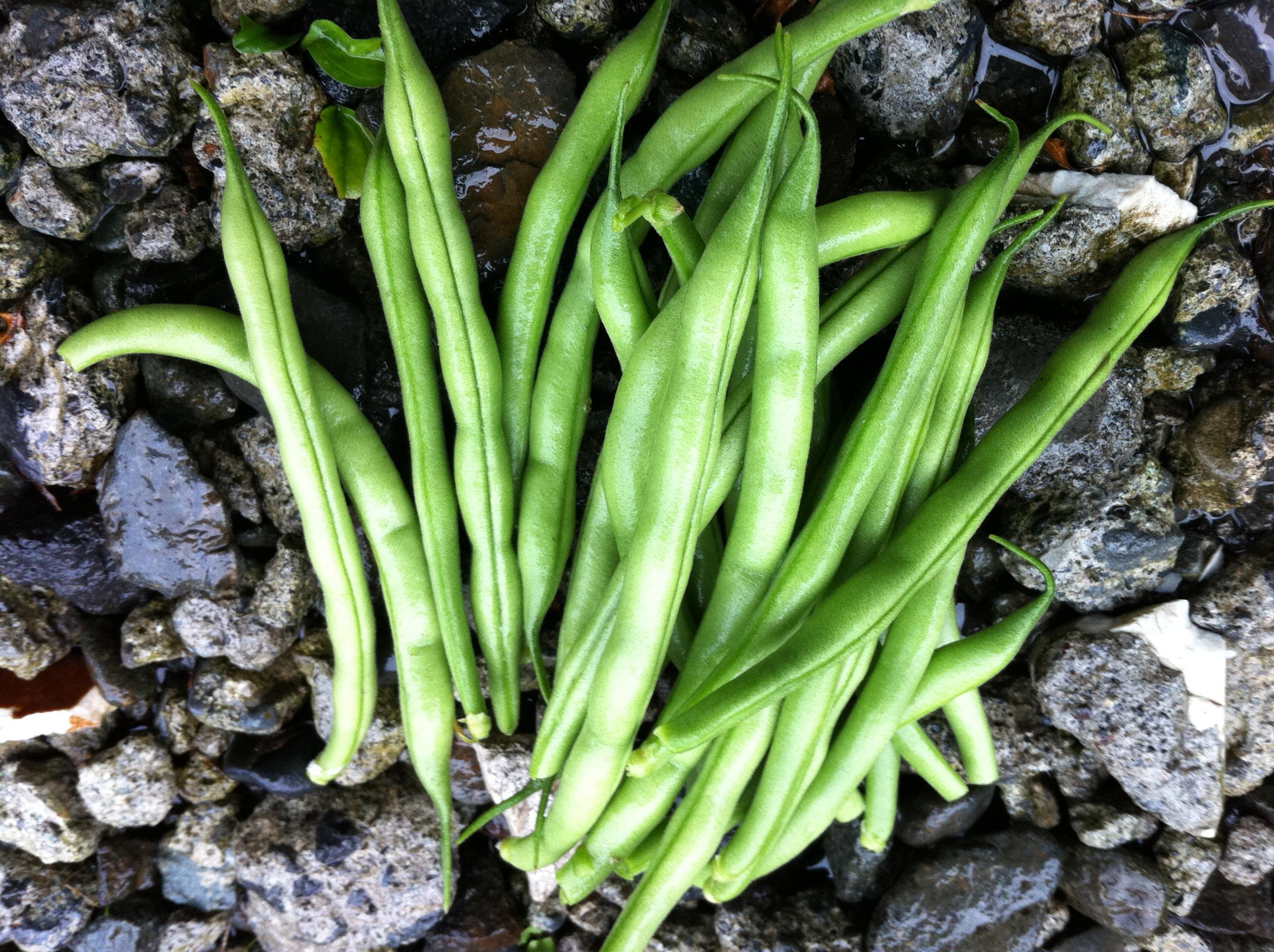 つるなしいんげんの初収穫②(6月下旬)