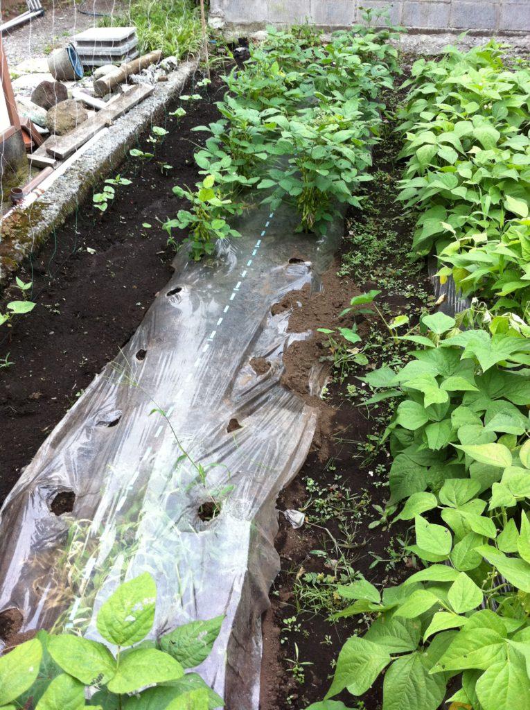 収穫終了間近の枝豆(7月3日)