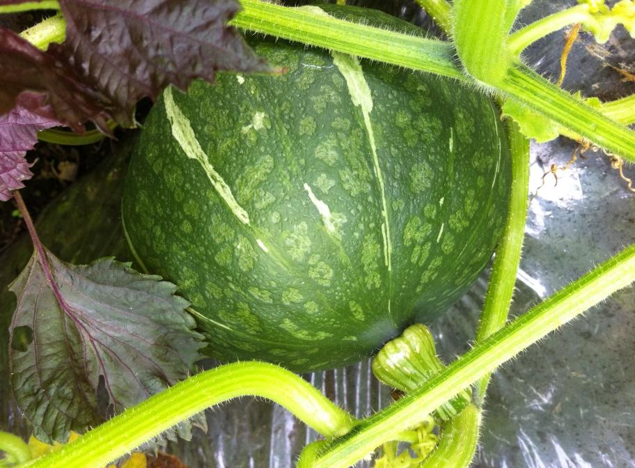 かぼちゃの収穫適期の見分け方②