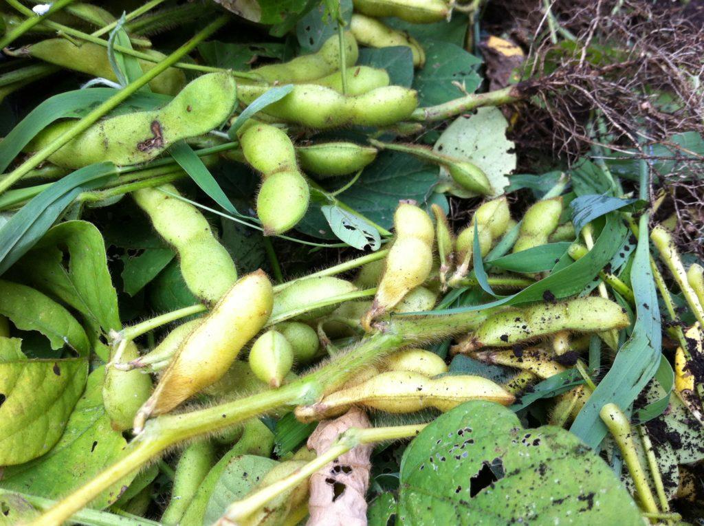 最後の枝豆収穫(7月13日)