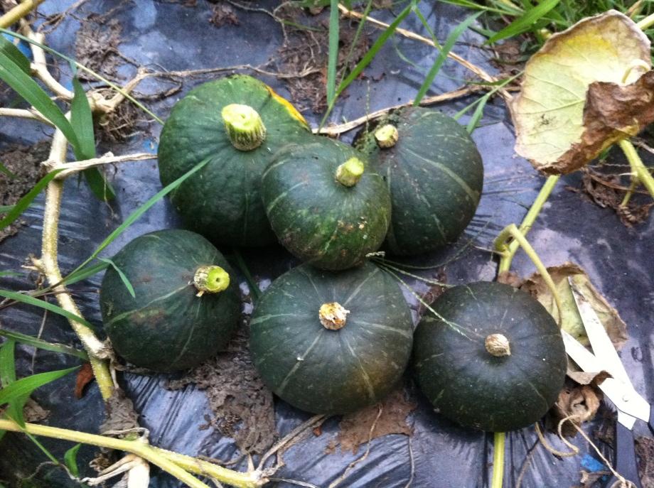 かぼちゃのつるが枯れる前に収穫③