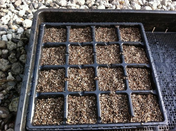 種まき用土でキャベツの種まき