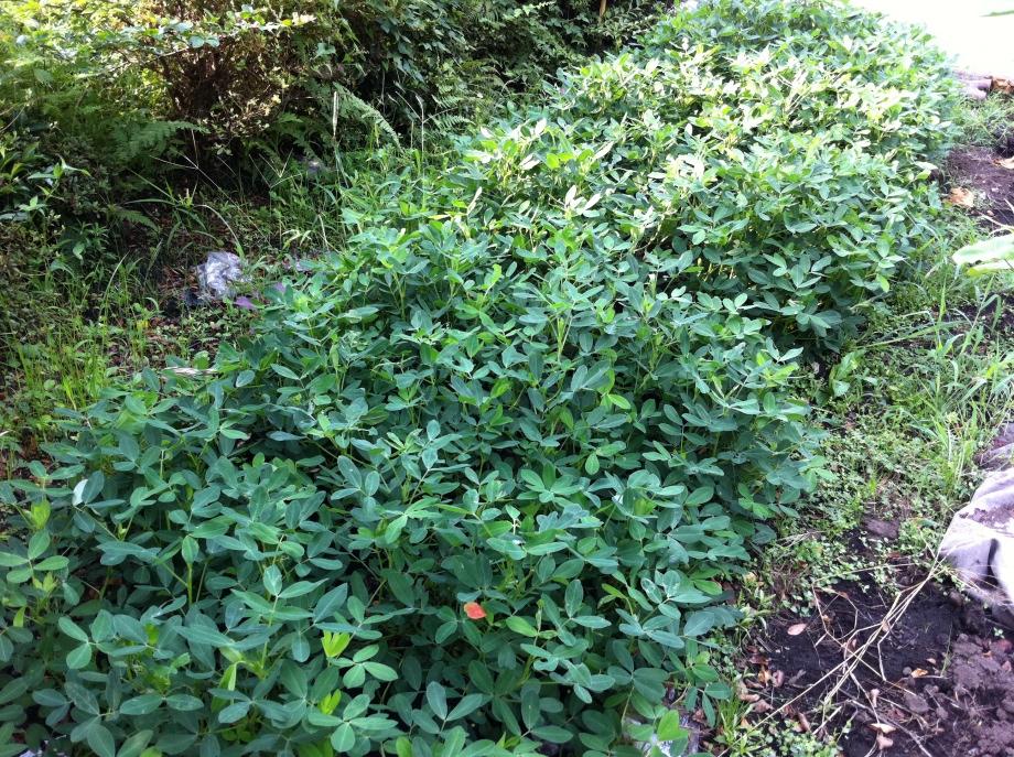 マルチを外した落花生の畝①