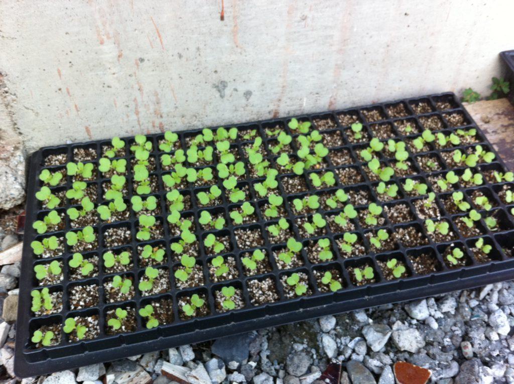 セルトレイで白菜の種の発芽①