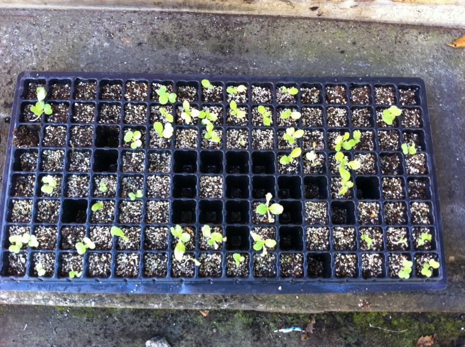植え付け前の白菜の苗①