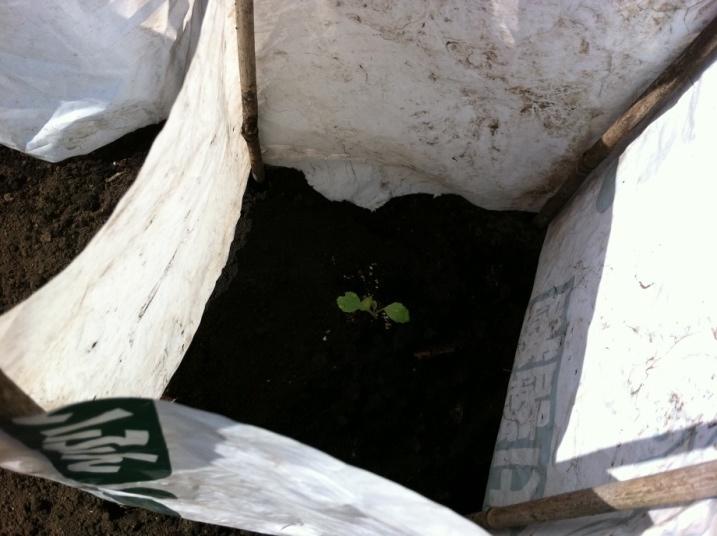 キャベツの苗の植え付け④(9月14日)