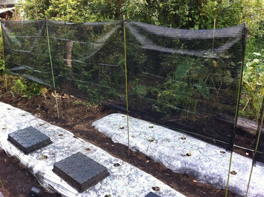 猛暑を防ぐ遮光シートを設置した白菜の畝