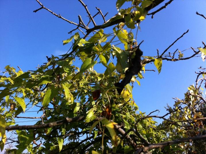 甘柿の木に絡まった山芋の蔓①