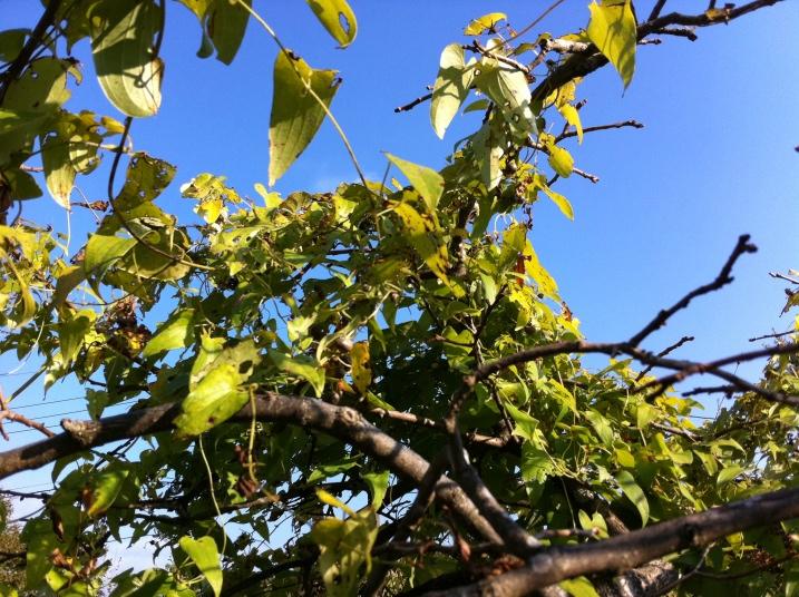 甘柿の木に絡まった山芋の蔓③