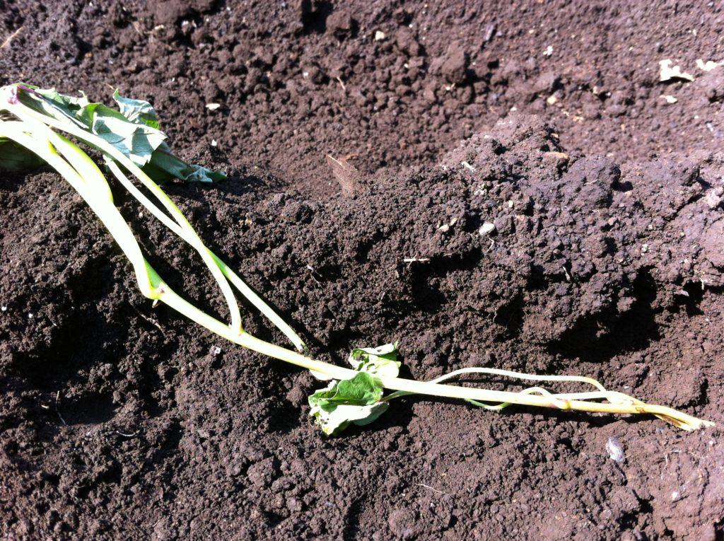 さつまいもの苗の水平植え