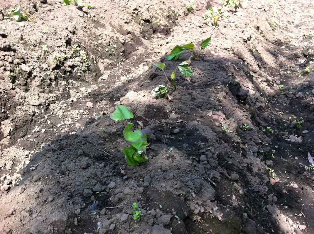 さつまいもの苗の植え付け後