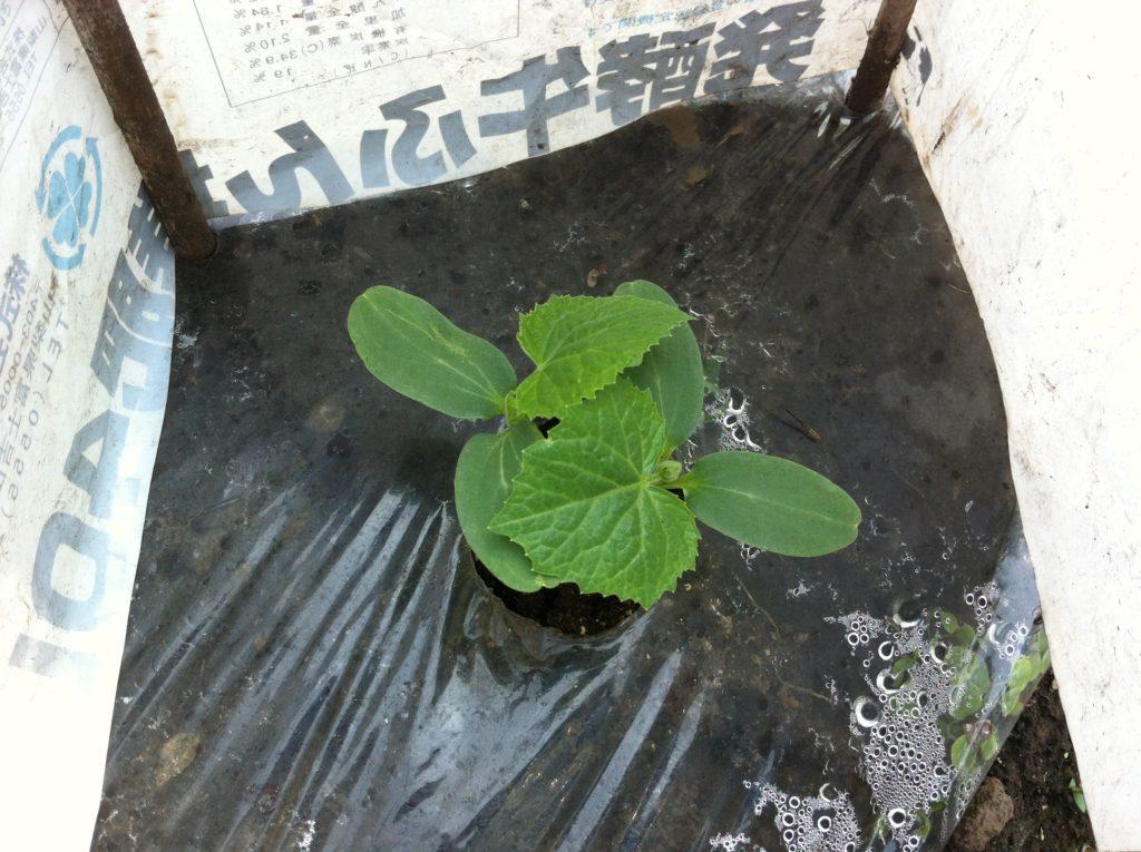 きゅうりの苗の風除け