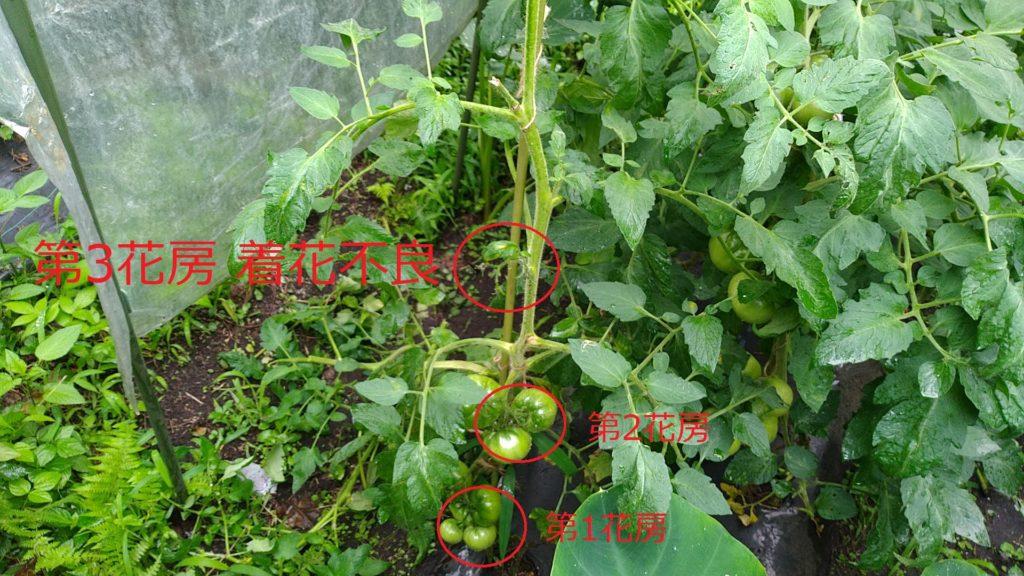 トマトの着花不良(7月6日)