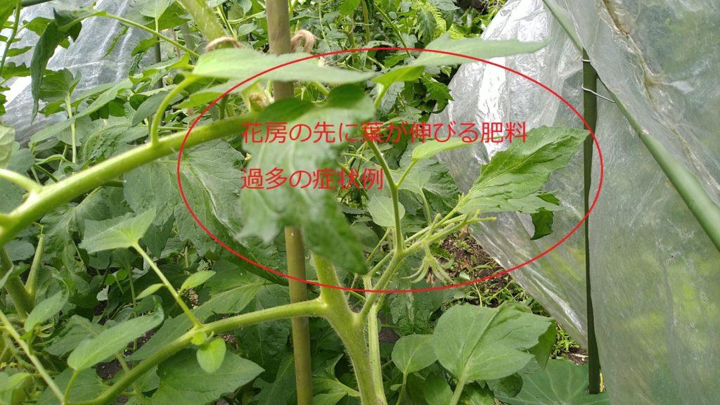 トマトの肥料過多の症状