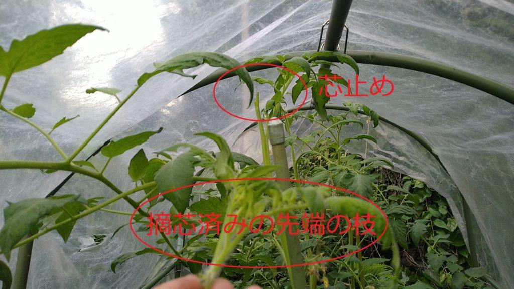 トマトの摘芯(7月8日)