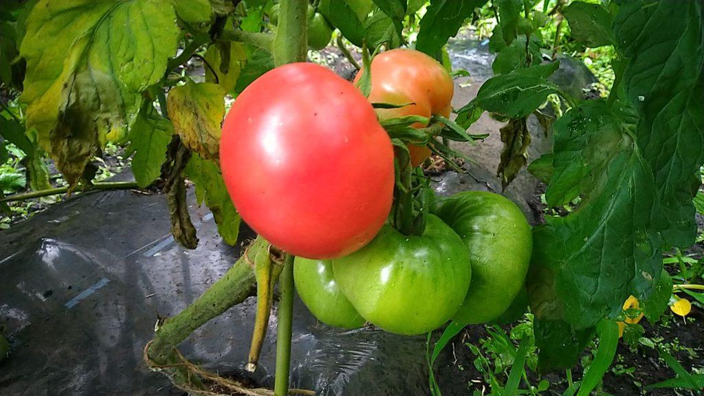 トマトの実(7月12日)