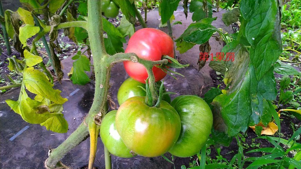 トマトの第1果房