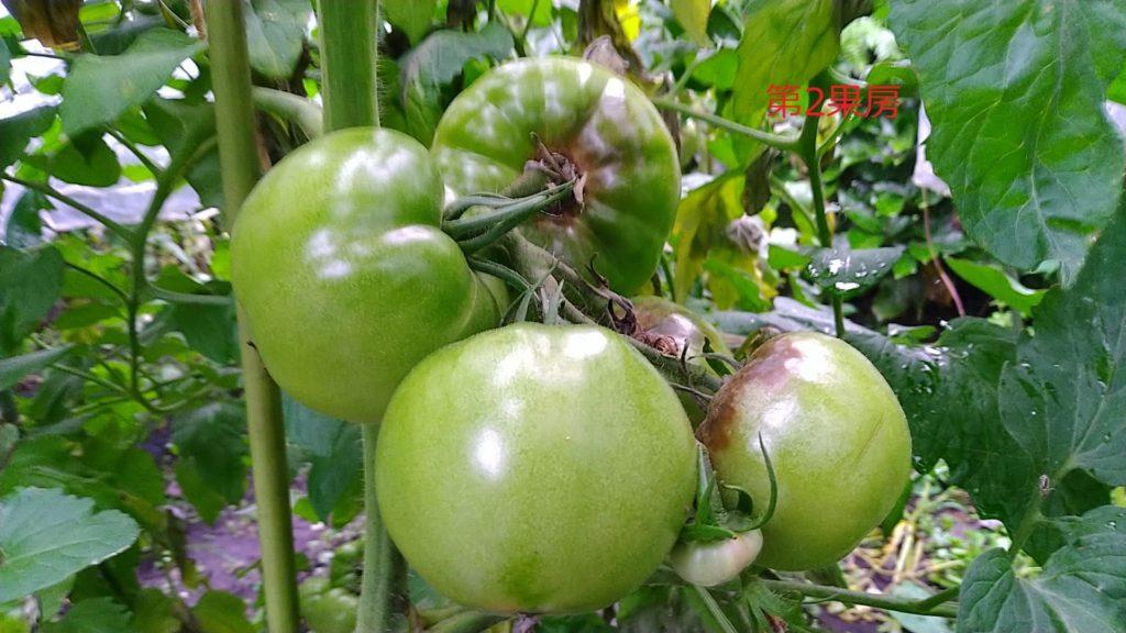 トマトの第2果房