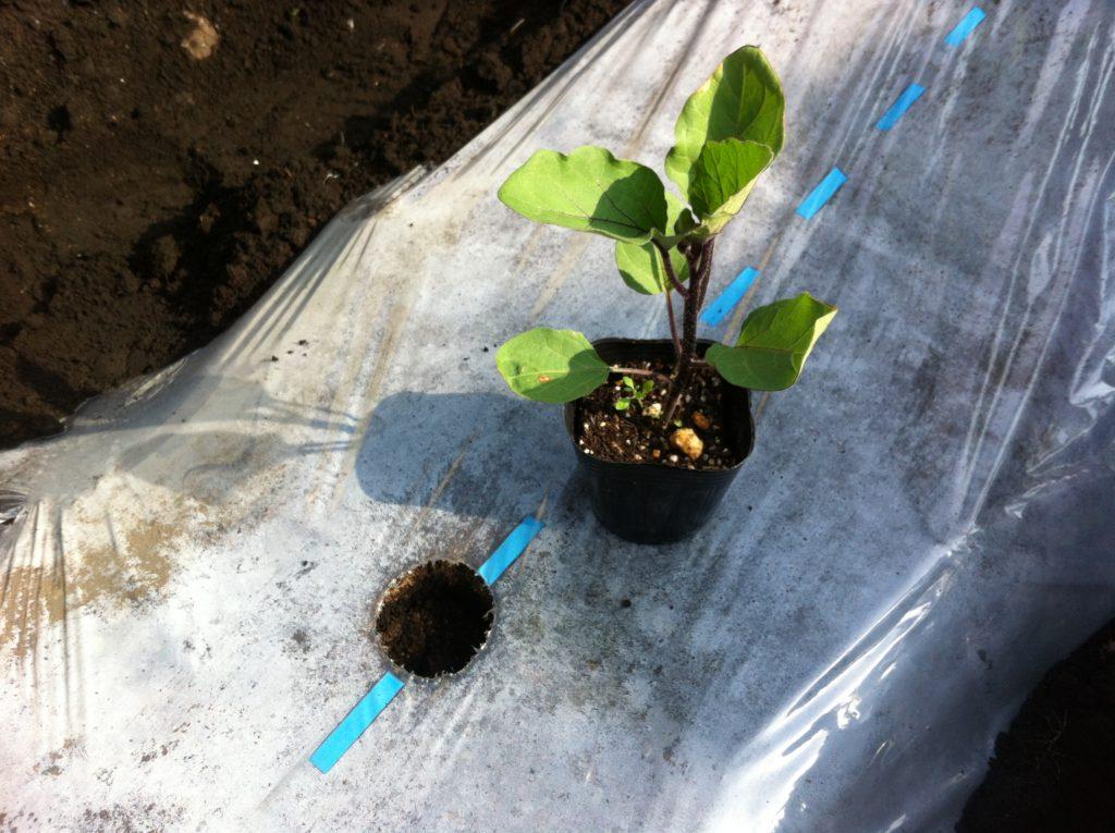 植え付け前のなすの苗