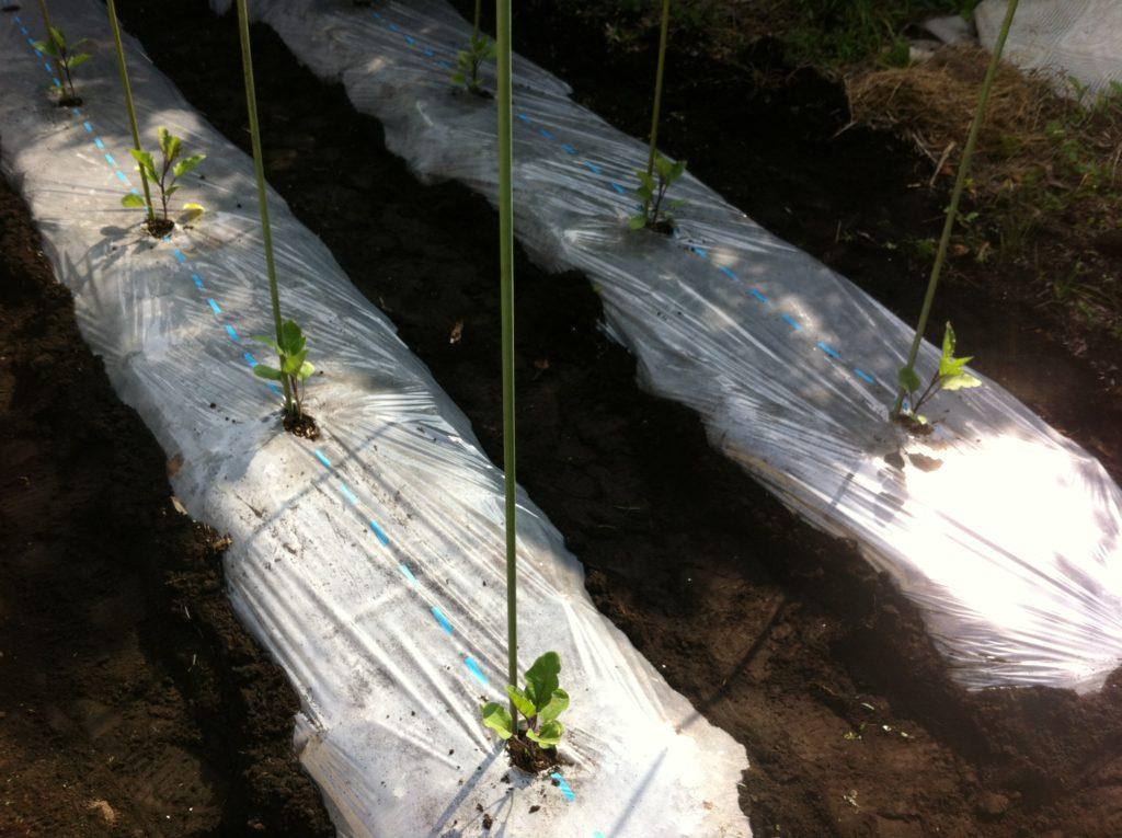 植え付け後のなすの苗