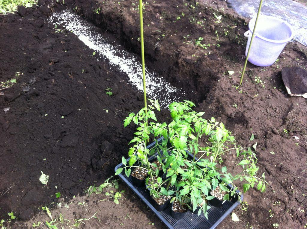トマトの溝施肥②