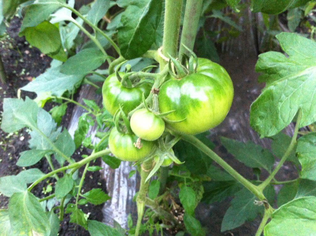 トマトの着果状況と支柱