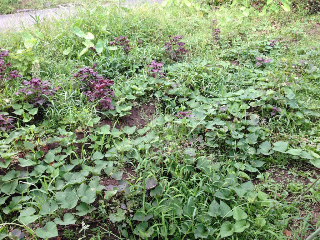 雑草だらけのさつまいも畑(7月下旬)