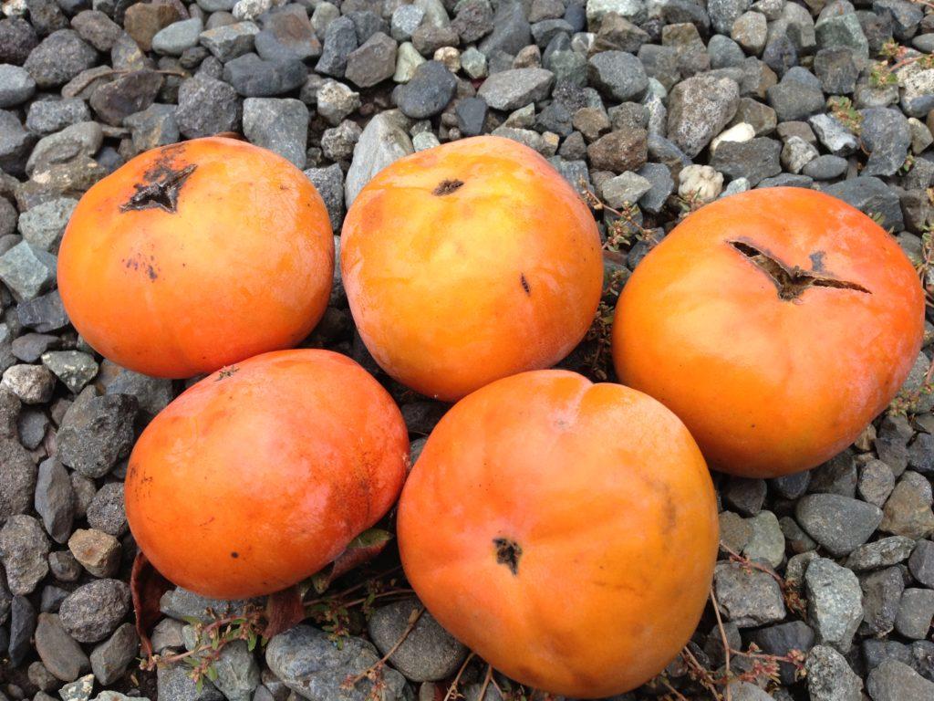 甘柿の炭疽病(たんそびょう)