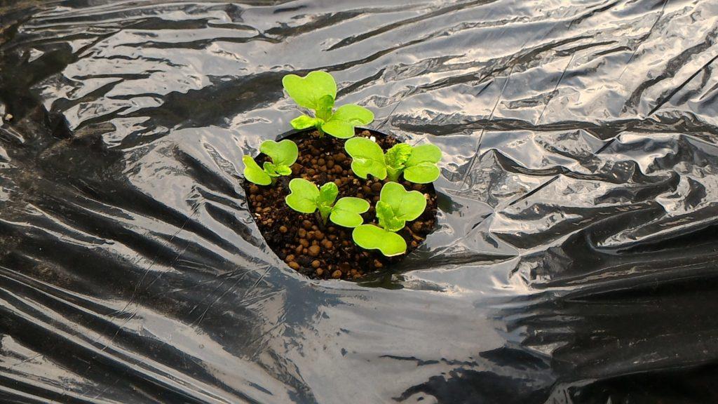 白菜の種の発芽(9月6日)