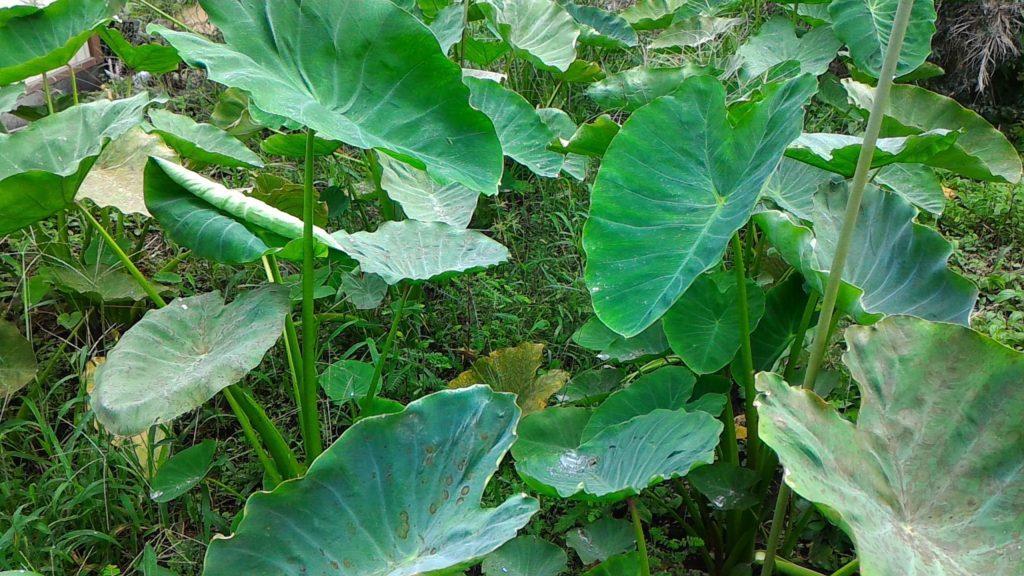 収穫間近の里芋②(9月6日)