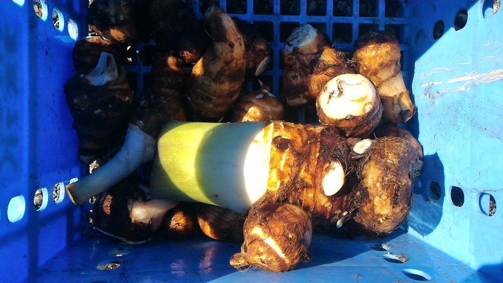 里芋の初収穫③(10月12日)